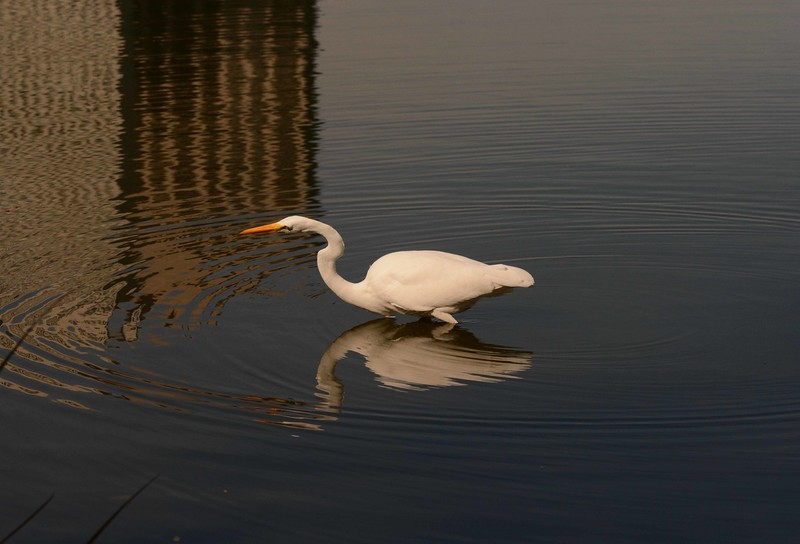 Great Egret -- Ardea alba, fishing the North Pond Nature Sanctuary in Chicago's Lincoln Park neighborhood.