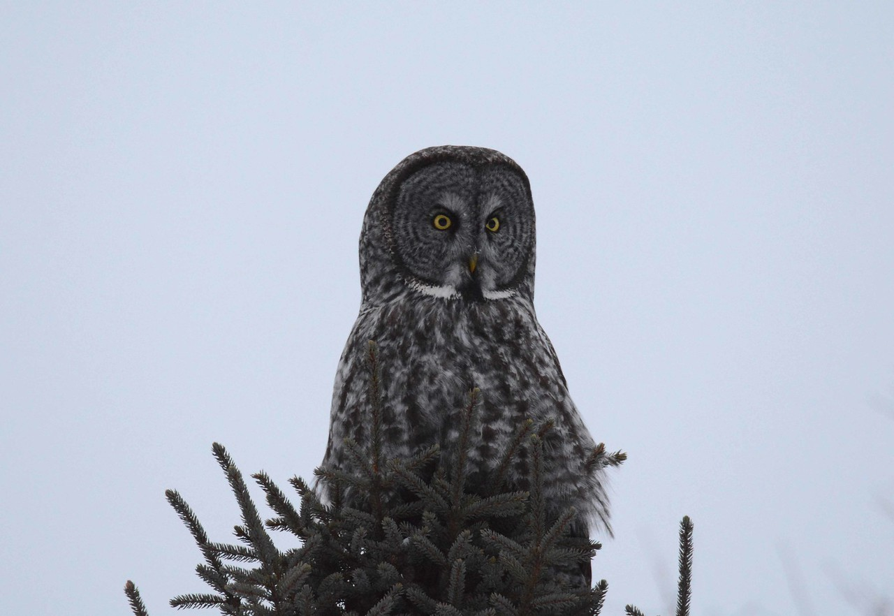 first-year juvenile Great Gray Owl -- Strix nebulosa, atop a Black Spruce -- Picea mariana, in Sax-Zim Bog, St. Louis County, MN.