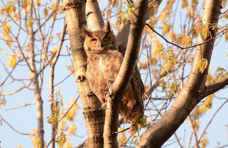 Great Horned Owl -- Bubo virginianus, in Chicago, IL park district forest preserve, w/poem by William Stanley Merwin: