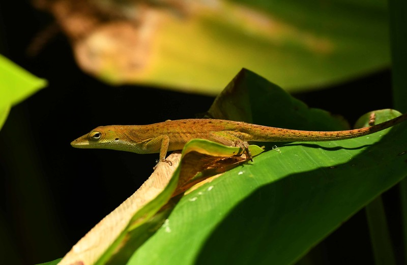 Green Anole -- Anolis carolinensis, and a poem by Archibald MacLeish: