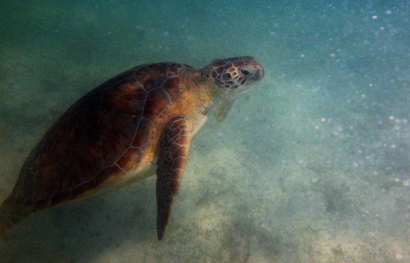 This series celebrates an endangered ancestor, the Green Sea Turtle -- Chelonia mydas, with a poem by E. L. Mayo: