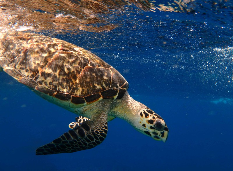 Hawksbill -- Eretmochelys imbricata, endangered sea turtle sojourning with a poem by Rilke: