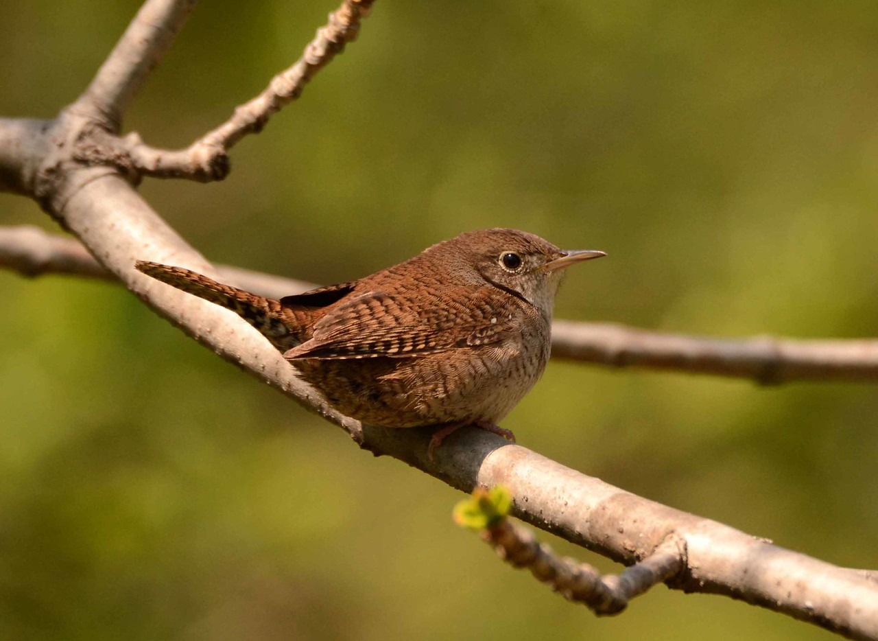 This series features House Wrens -- Troglodytes aedon, courting in a bird-friendly yard in Prospect, KY.