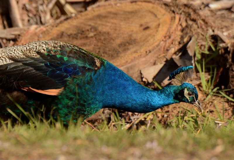 """Indian/Common Peafowl -- Pavo cristatus, aka """"Peacock"""", locates a sucker for color while free-ranging in Collier County FL."""