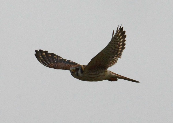 American Kestrel (f) -- Falco sparverius, draws an eye and i and eiseley:  'All of the falcon kind, the hard traveling  talon-clawed ones that for so many years I have seen go over Hawk Mountain on thousand-mile journeys—