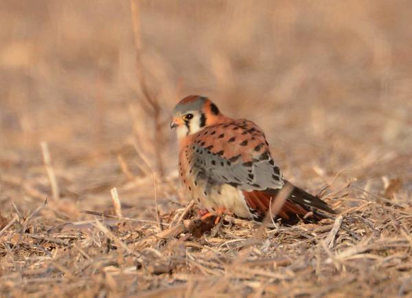 American Kestrel (m) -- Falco sparverius