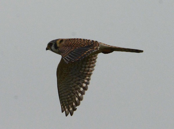 Fly falcon, fly Monarch, fly gull  and you in the invisible night-tiger's eye going somewhere in reed grass. I am there paddling softly with you, fly albatross that sleeps on the Cape Horn winds. We are all the terrible eye that sees the galaxy, we make it real.
