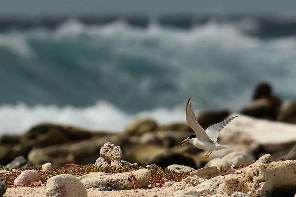 """Least Terns -- Sternula antillarum, with """"Plegaria por el Nido"""":"""