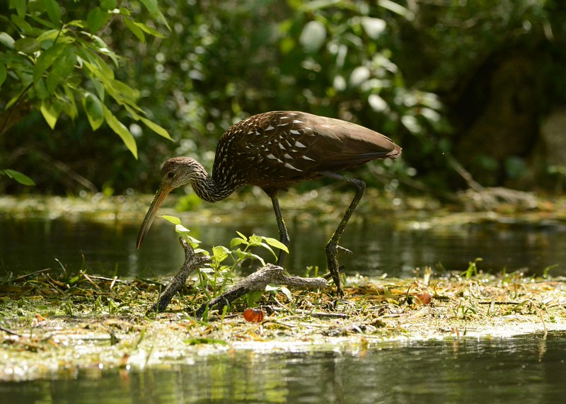 Limpkin were nearly hunted to extinction in North America.