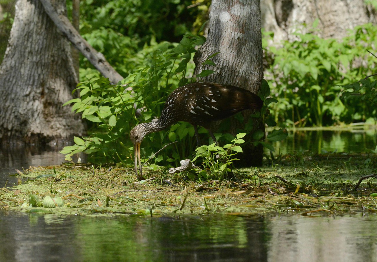 "The Limpkin's bill is uniquely adapted for feeding on the Apple Snail; a slight curve to the right helps extract the snail from its right-handed shell chamber.<br /> <br /> ""The artist in me cries out for design."" ~ Robert Frost"