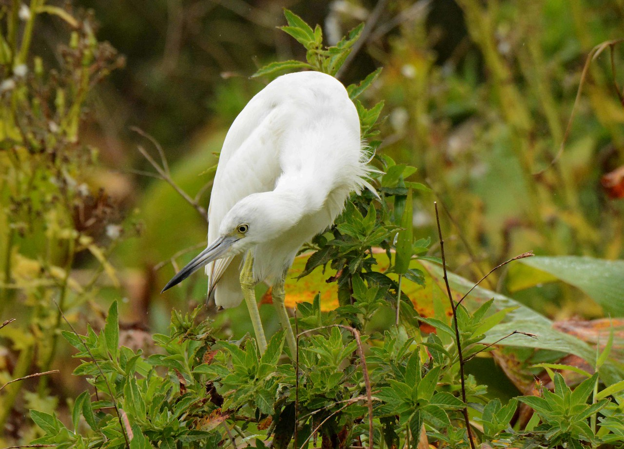 This series features a juvenile Little Blue Heron -- Egretta caerulea, and a poem by Adrienne Rich: