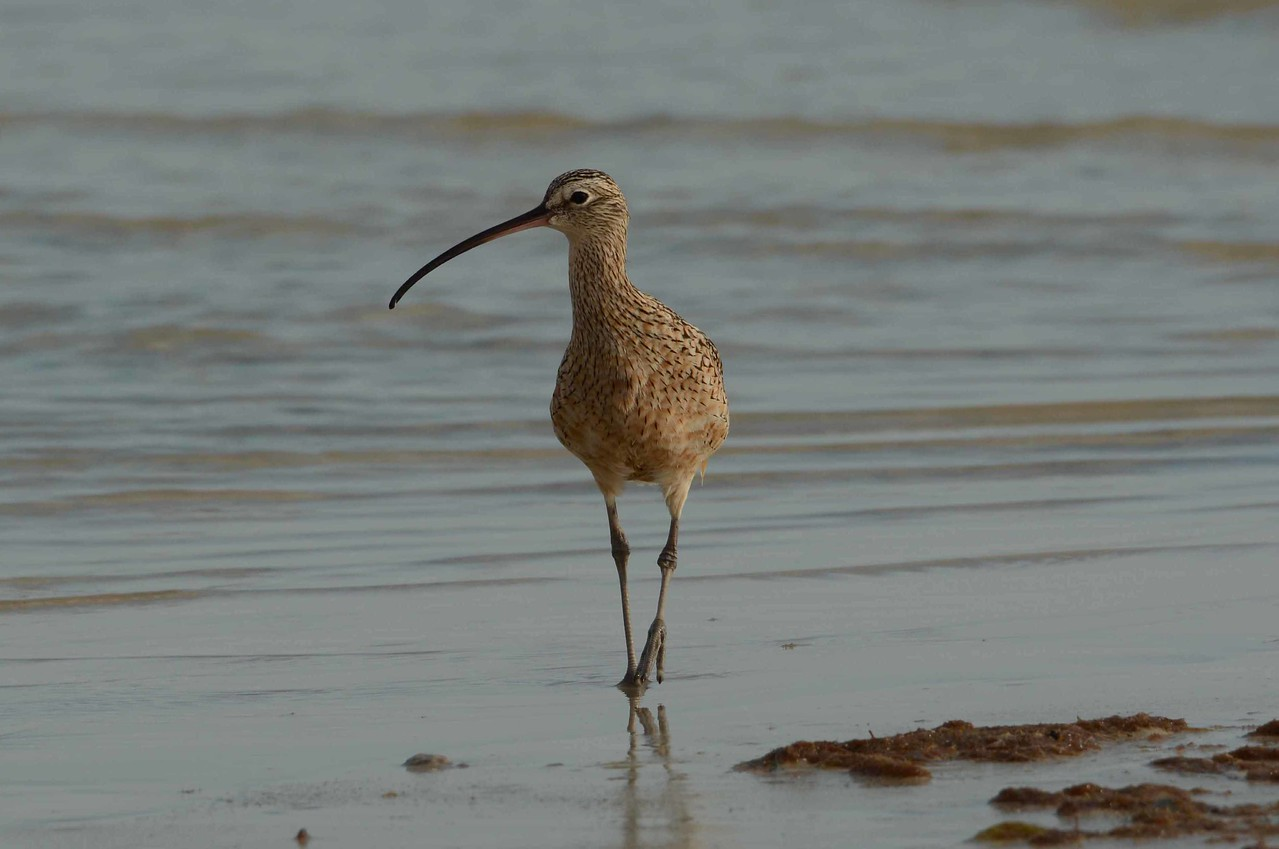"Long-billed Curlew (juvenile) -- Numenius americanus, visiting Bunche Beach in Lee County, FL, with ""Another Life"" by Howard Moss:"