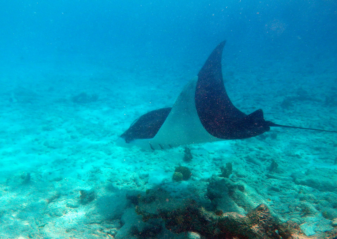 Manta Ray -- Manta spp., i think M. birostus, gliding by Captain Don's in Bonaire. poem by Archibald MacLeish:<br /> <br /> 'Science, that simple saint, cannot be bothered<br /> Figuring what anything is for: