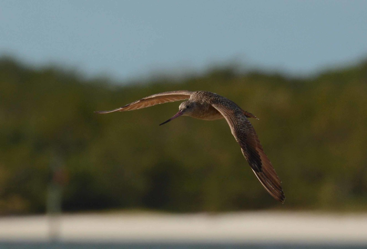 """Marbled Godwit -- Limosa fedoa, """"relatively"""" close in Lee County FL with a poem by Peter Balakian:"""