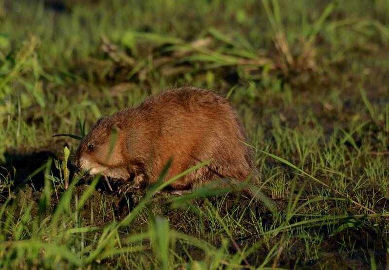 Common Muskrat -- Ondatra zibethicus