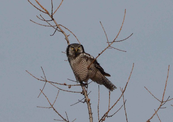 Northern Hawk Owl -- Surnia ulula, visiting a favored bog area in MN (www.saxzim.org ) with a poem by John Beer: