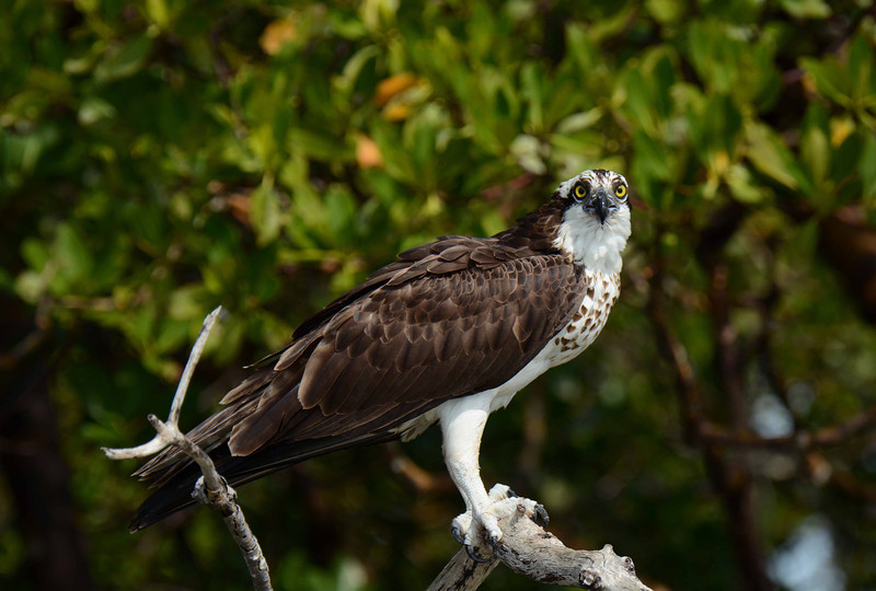 Osprey (f) -- Pandion haliaetus, in Collier County, FL, with a poem by Ogden Nash:
