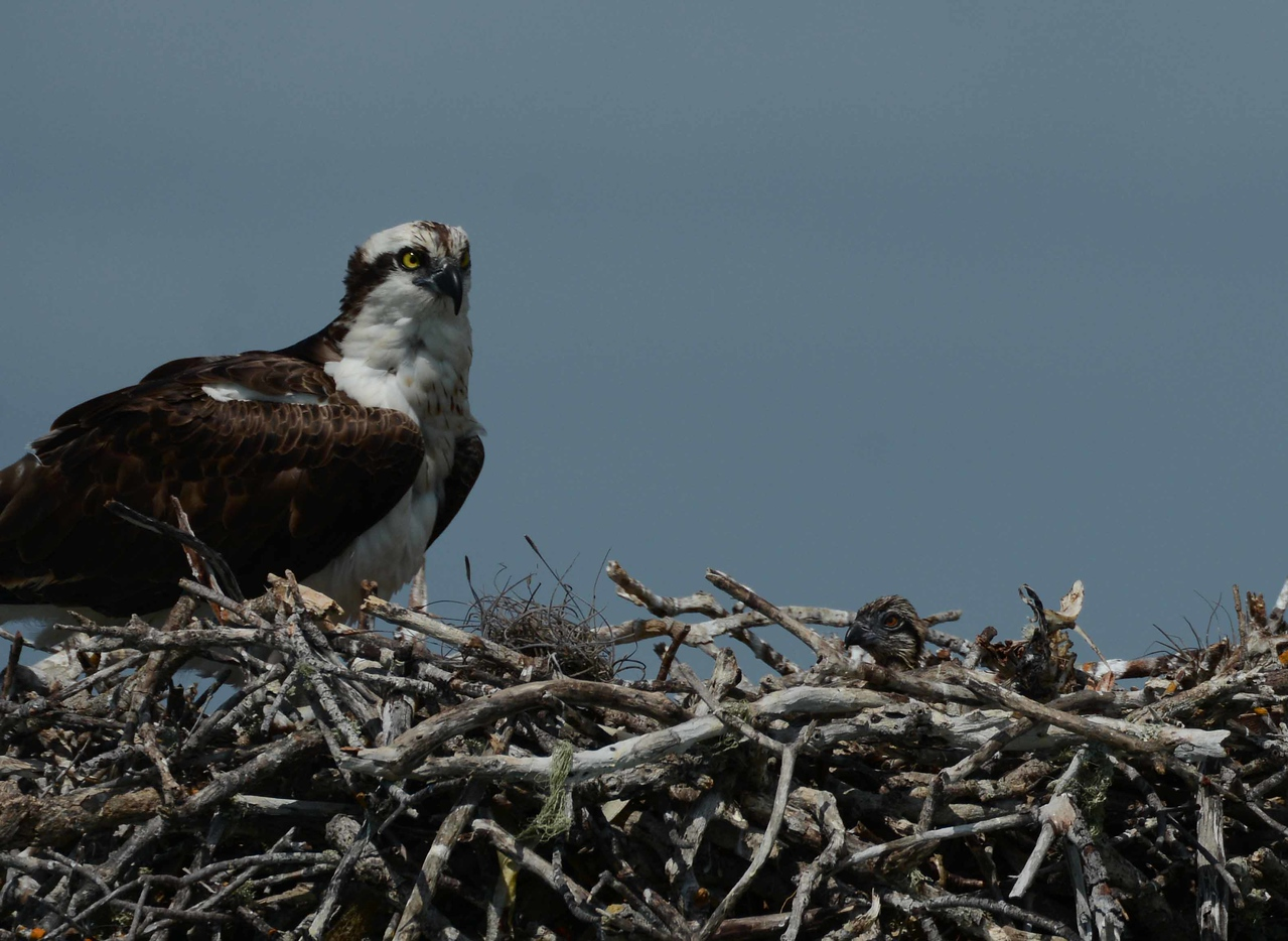 Mother and three-day old chick. Osprey may return to the same nest site for years.