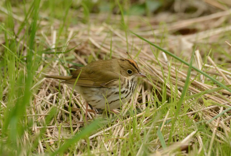 Ovenbird -- Seiurus aurocapilla, at Chicago's Magic Hedge
