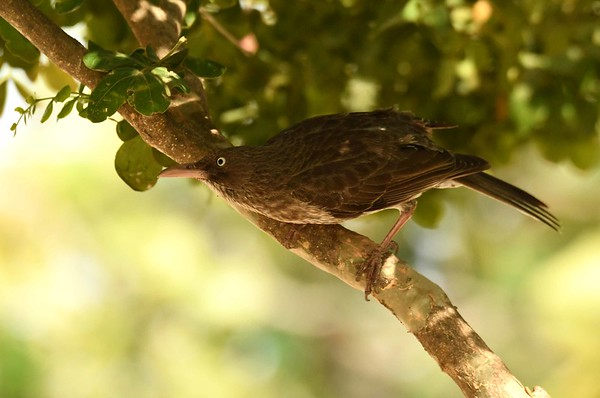"""Pearly-eyed Thrasher -- Margarops fuscatus, foraging with """"Survivor"""":"""