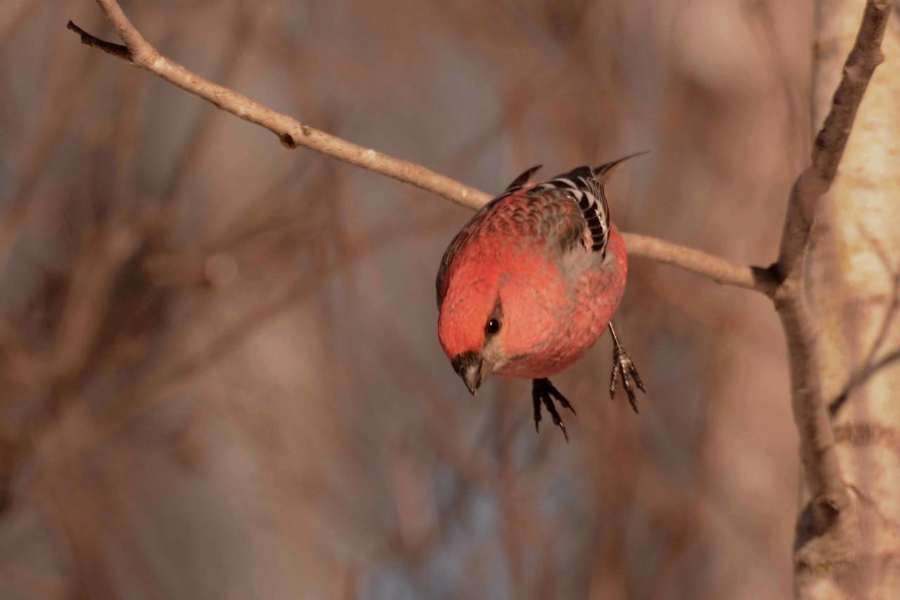 "Pine Grosbeaks -- Pinicola enucleator, drop in to visit Loretta's amazing feeders in Kelsey, MN <a href=""https://www.facebook.com/Kelsey-Bird-Feeding-Station-649197695124935/"">https://www.facebook.com/Kelsey-Bird-Feeding-Station-649197695124935/</a> and poem by Zbigniew Herbert:"
