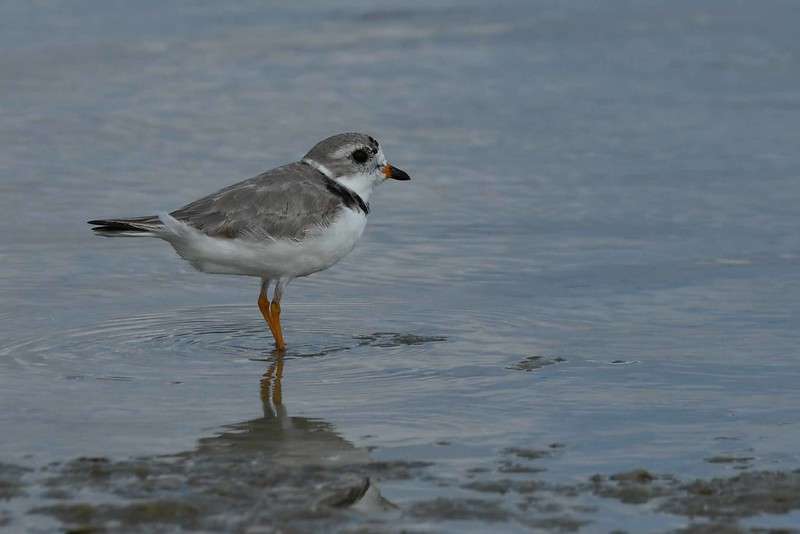 "Piping Plovers -- Charadrius melodus, on Tigertail Beach, FL with ""Advice to a Prophet"":"