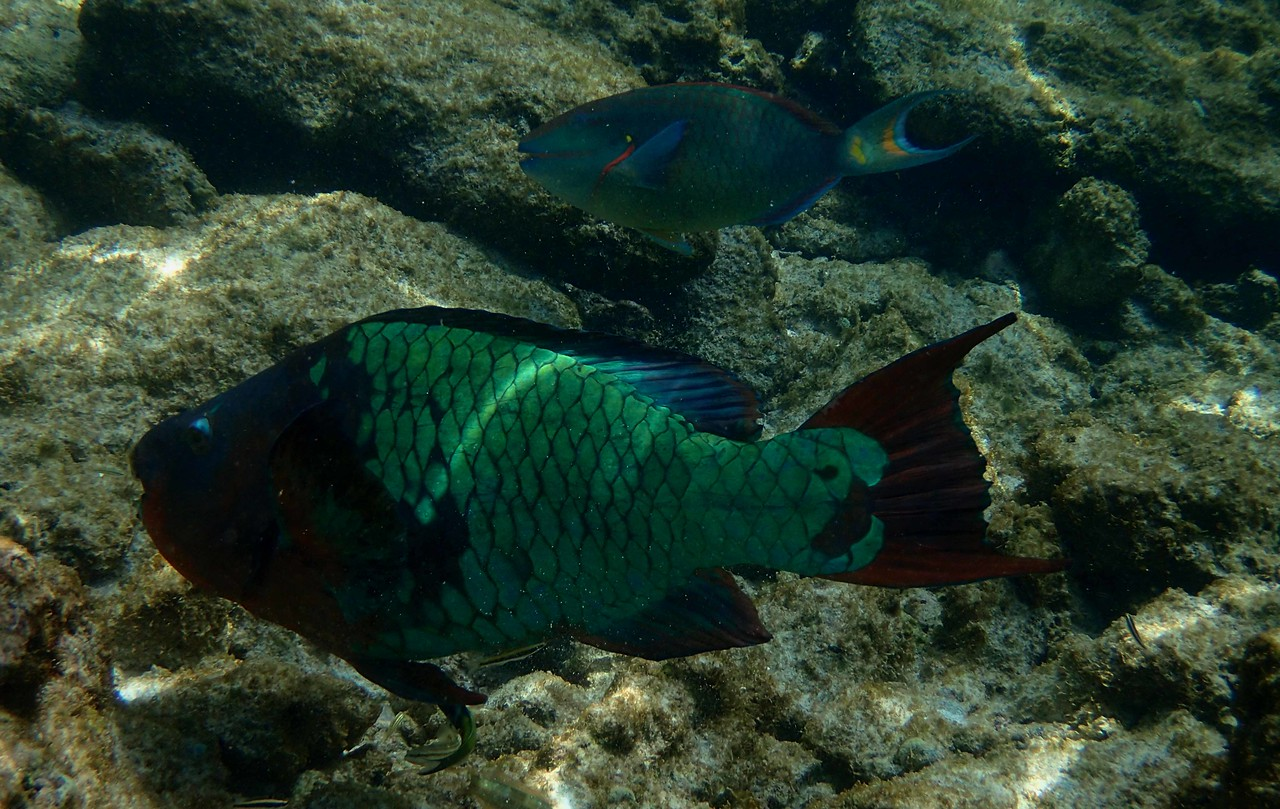 Rainbow Parrotfish -- Scarus guacamaia, with a poem by Ronald Stuart Thomas...