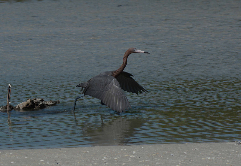 Our concertmaster summons the string section for Dance of the Reddish Egret...