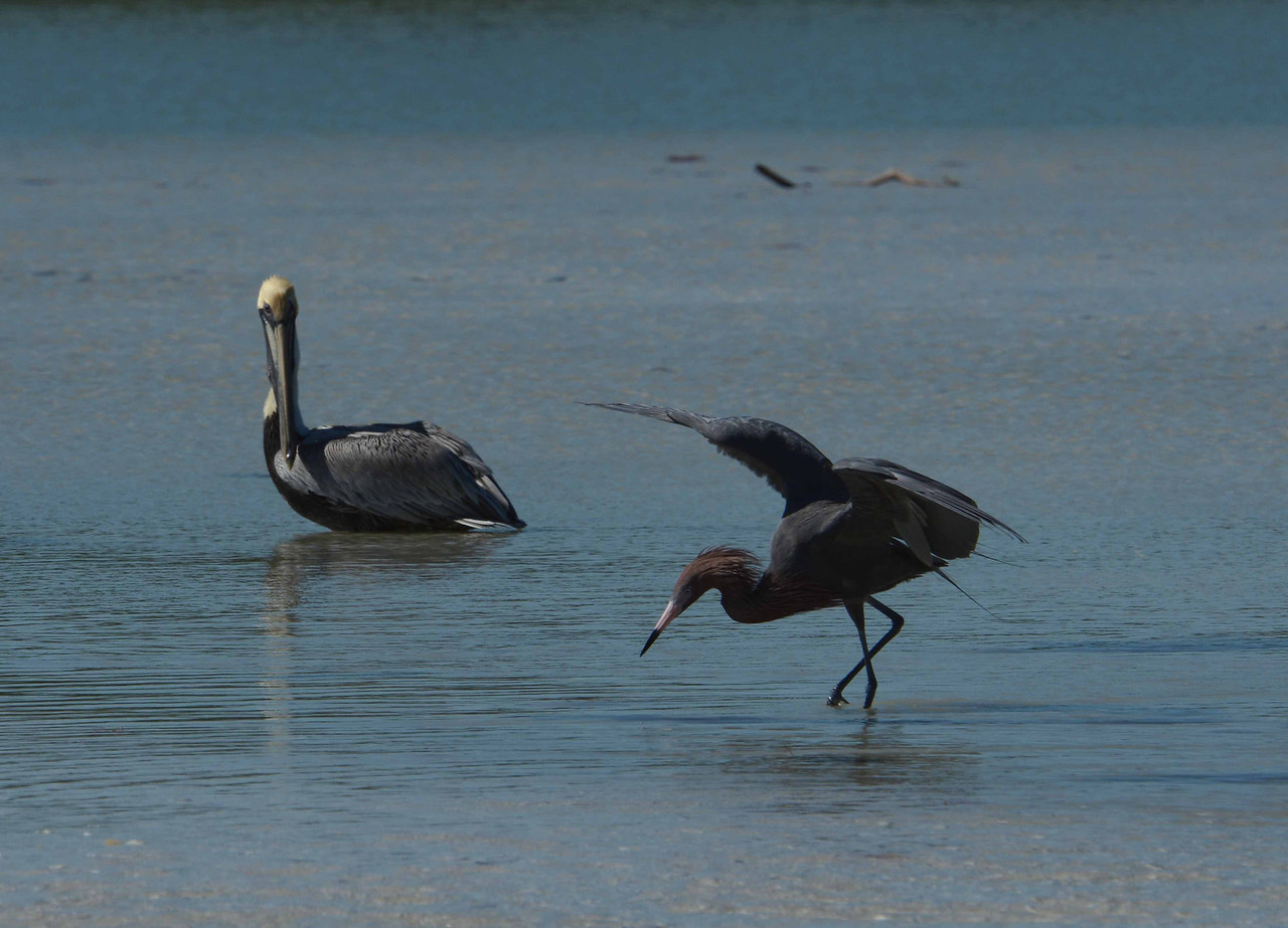 This sequence's featured performer is a Reddish Egret, Egretta rufescens, joined by an audience participant Pelican in a untitled duet on the 'Junonia Flats' section of Sea Oat Island, FL.