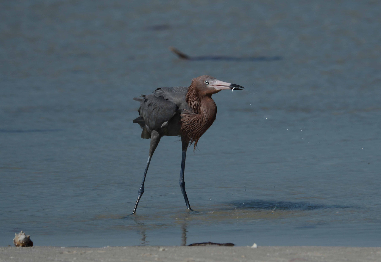 entertainment as an eccentric essential -- the Reddish Egret's peculiar  feeding habits are likely a behavioral adaptation that allows the species to avoid competition with other herons. (A. Meyerriecks, U of So FL)
