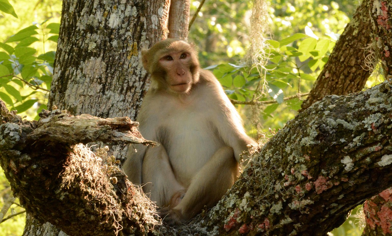 This one appeared to be the dominant male of a small peripheral group of six. These monkeys live in complex social groups involving separate male and female dominance hierarchies. A peripheral subgroup is led by a single male of lower dominance.