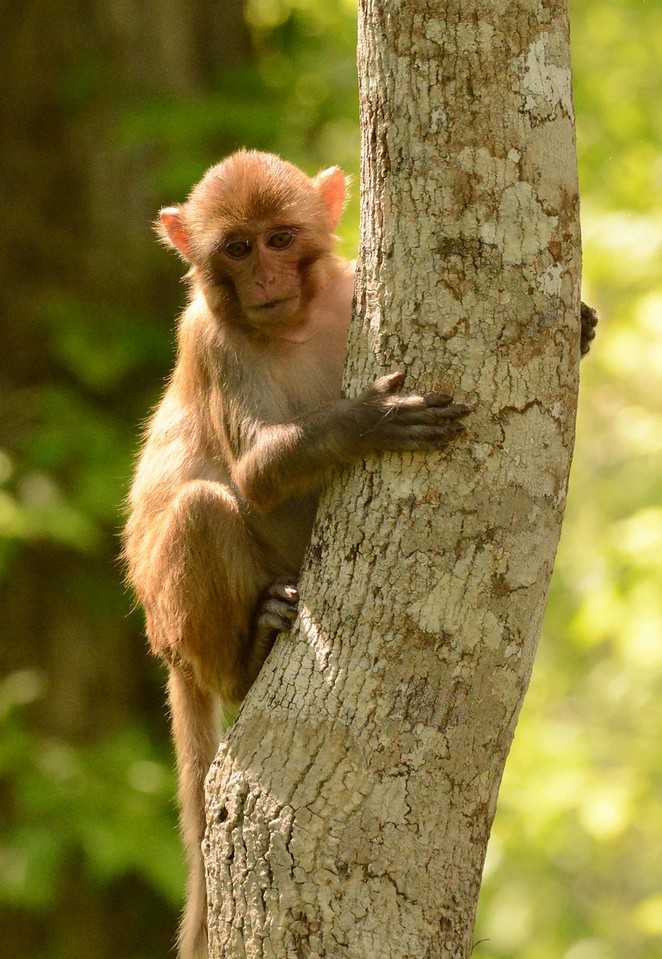 """These macaques are known to be aggressive, but i don't know if anyone has warned them about the humans.<br /> <br /> """"How come we play war and not peace? Too few role models."""" ~ Bill Watterson"""