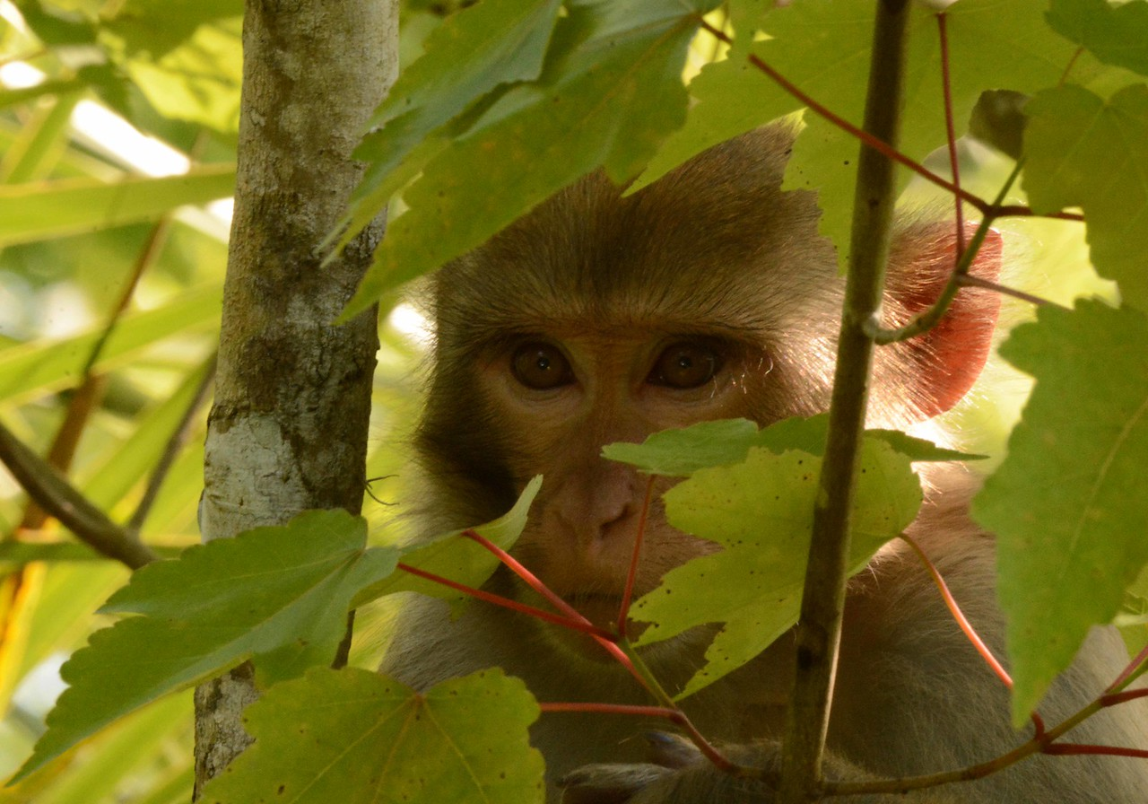 now a-peering: Rhesus Macaques -- Macaca mulatta, in Silver River SP, Ocala, FL.