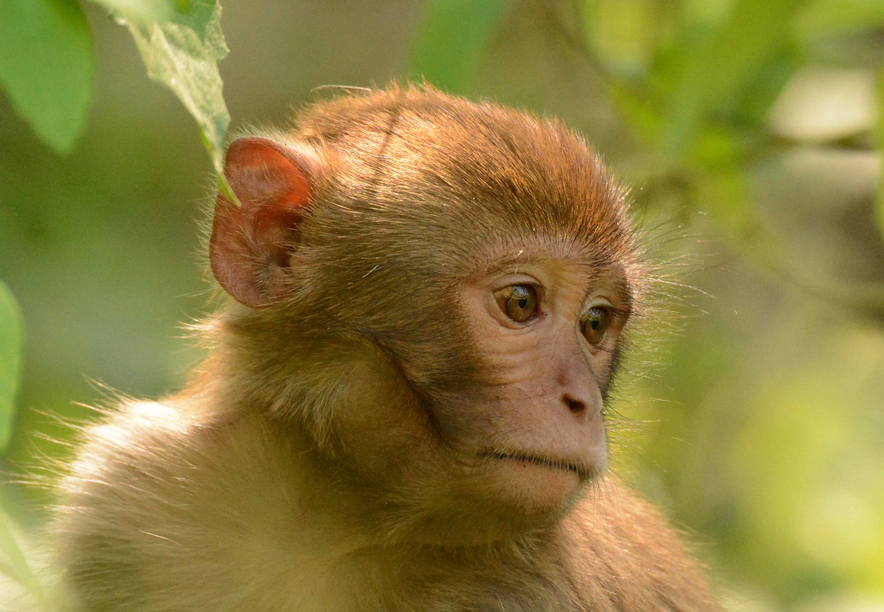 """An important test subject for medical and biological research, the Rhesus Macaque has aided the development of numerous vaccines and drugs. Until 2013, macaques were trapped here and sold to research labs.<br /> <br /> 'O sweet spontaneous<br /> earth how often …<br /> has the naughty thumb<br /> of science prodded<br /> thy beauty' ~ e. e. cummings, """"oh sweet spontaneous"""""""