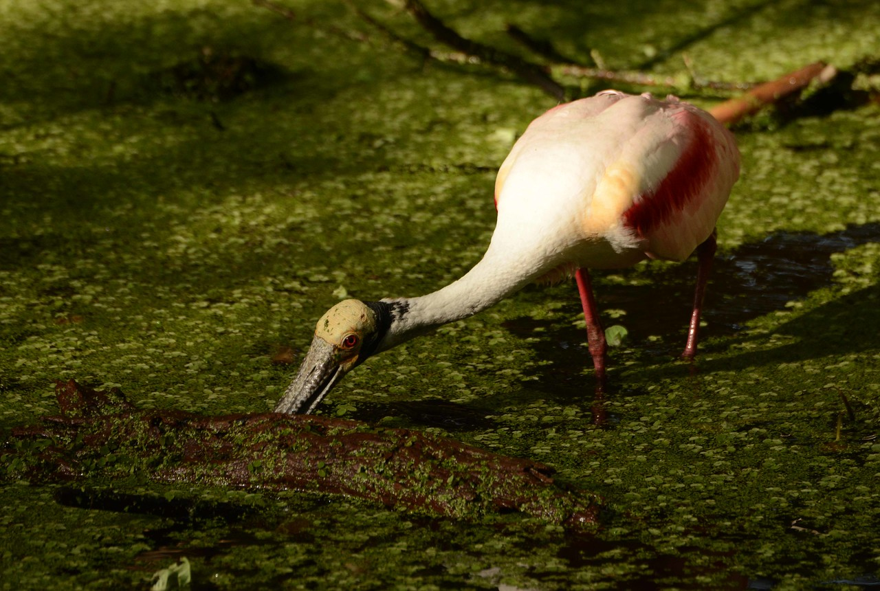Roseate Spoonbills -- Platalea ajaja, and a poem by Alicia Ostriker: