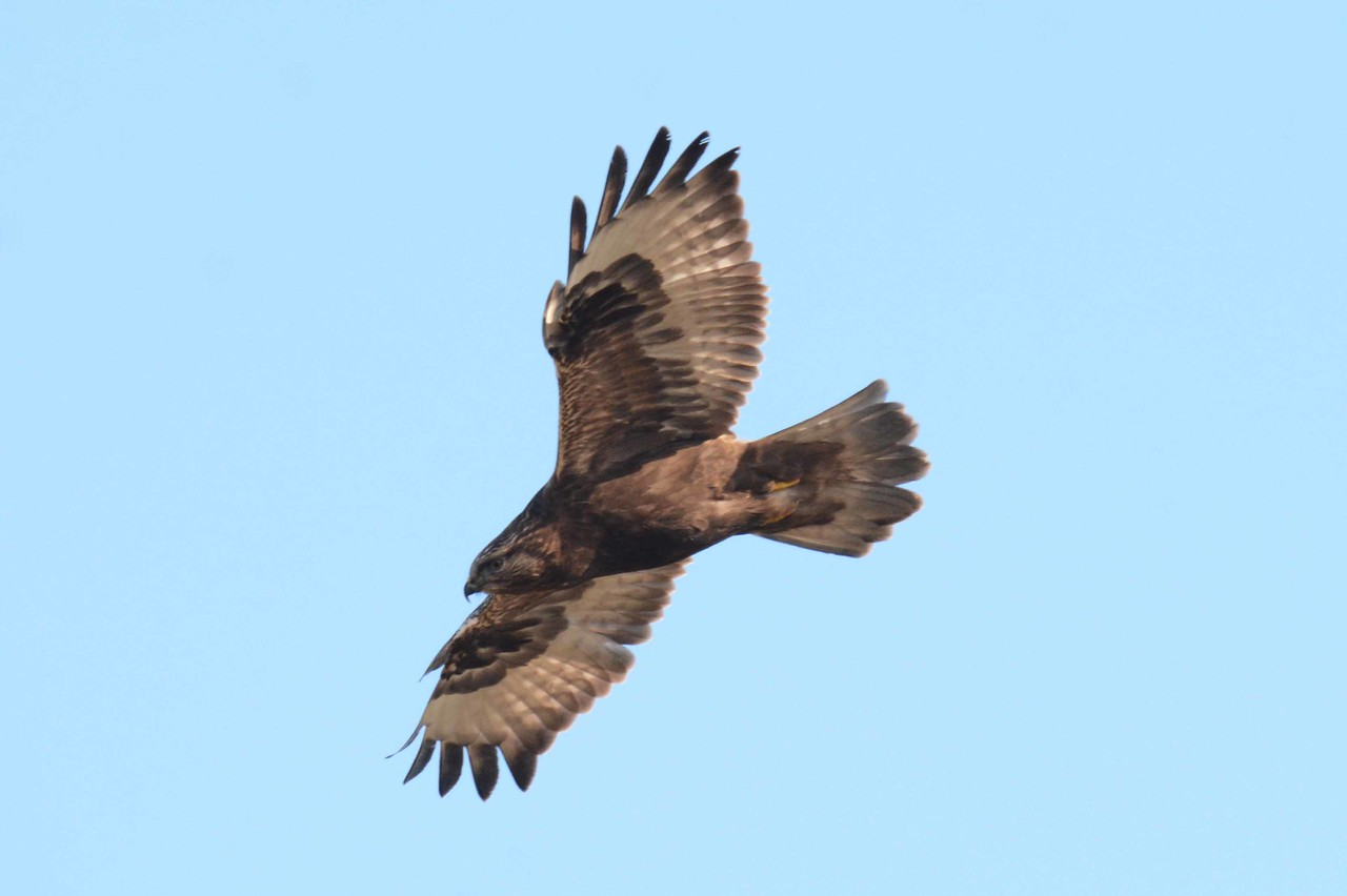 Rough-legged Hawks (dark and pale morph juveniles) -- Buteo lagopus, and poem by Wendell Berry:<br /> 'I dream an inescapable dream