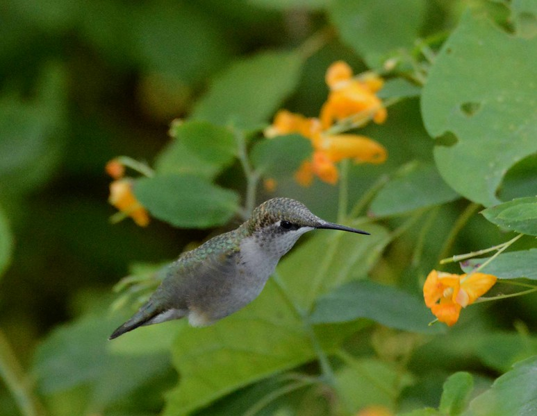 then the mother sent another servant girl<br /> who saw the hummingbird and stayed there