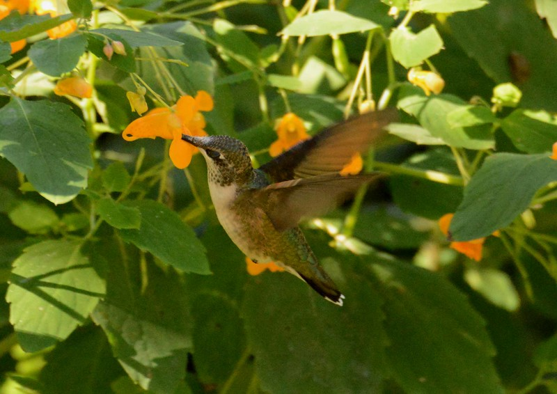 This series features the Ruby-throated Hummingbird -- Archilochus colubris, and a poem by W. S. Merwin: