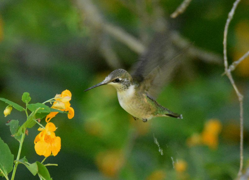 and when she came there she saw the hummingbird<br /> and she stood still with a spell holding her