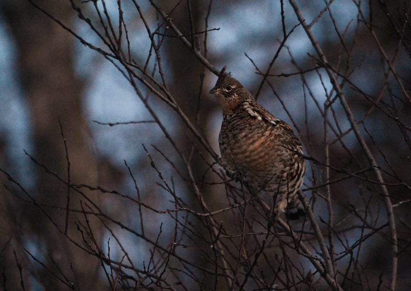 Analogy could be pressed<br /> Between this grouse who loved the motor car,