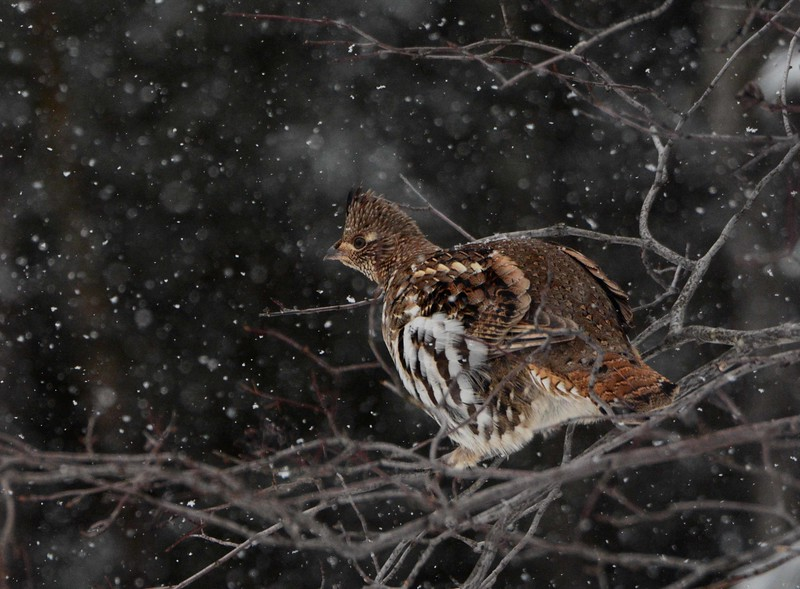 Watched by authorities, we onward feed,<br /> Harmless as grouse, and harmless in our greed,