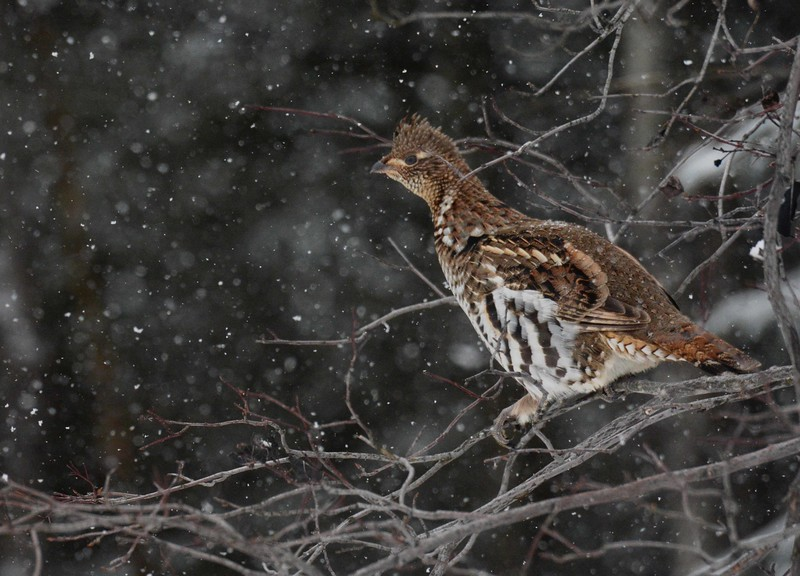 The grouse a pleasant bird,<br /> Its breast grew fat and sleek,