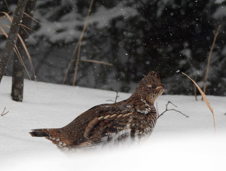 Between this gray ruffed grouse<br /> Fed by the hand, half wild, half friendly,