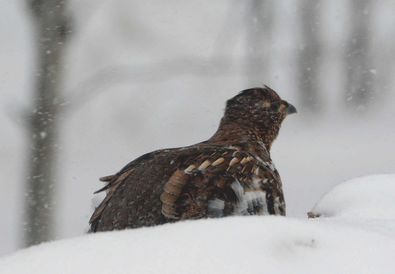 "Ruffed Grouse -- Bonasa umbellus, with ""Grouse in a Writer's Colony"" by Ruth Herschberger:"