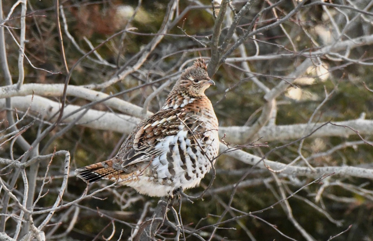 Between this ruffed gray grouse<br /> And us, who fatter grow,