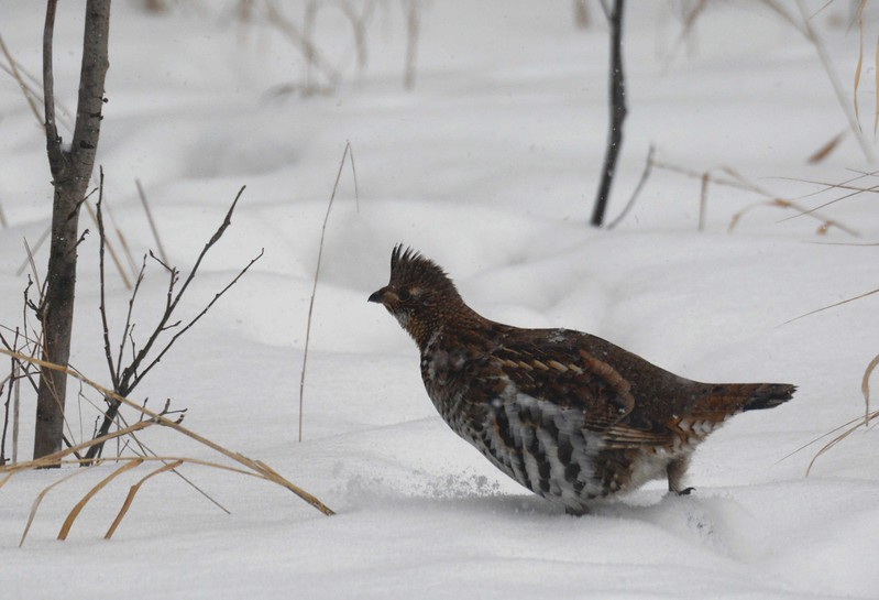 Fed by the hand, half friendly and half wild,<br /> Fattened in the thick of winter snows.