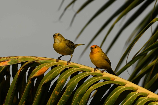 Saffron Finches -- Sicalis flaveola