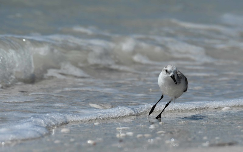 "This series features the Sanderling -- Calidris alba, and ""Sea Change"" by Rachel Wetzsteon:"