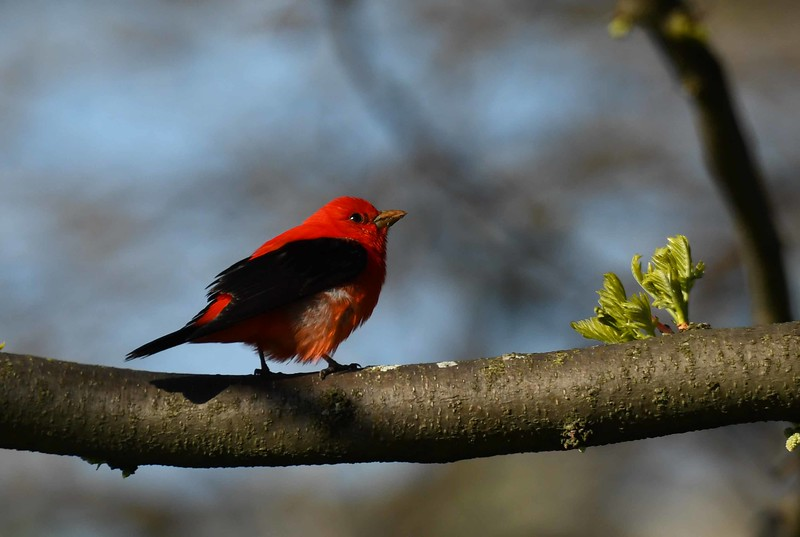 "Scarlet Tanager (m) -- Piranga olivacea, remembers spring in Chicago with ""La Contadora"" by Gabriela Mistral:"