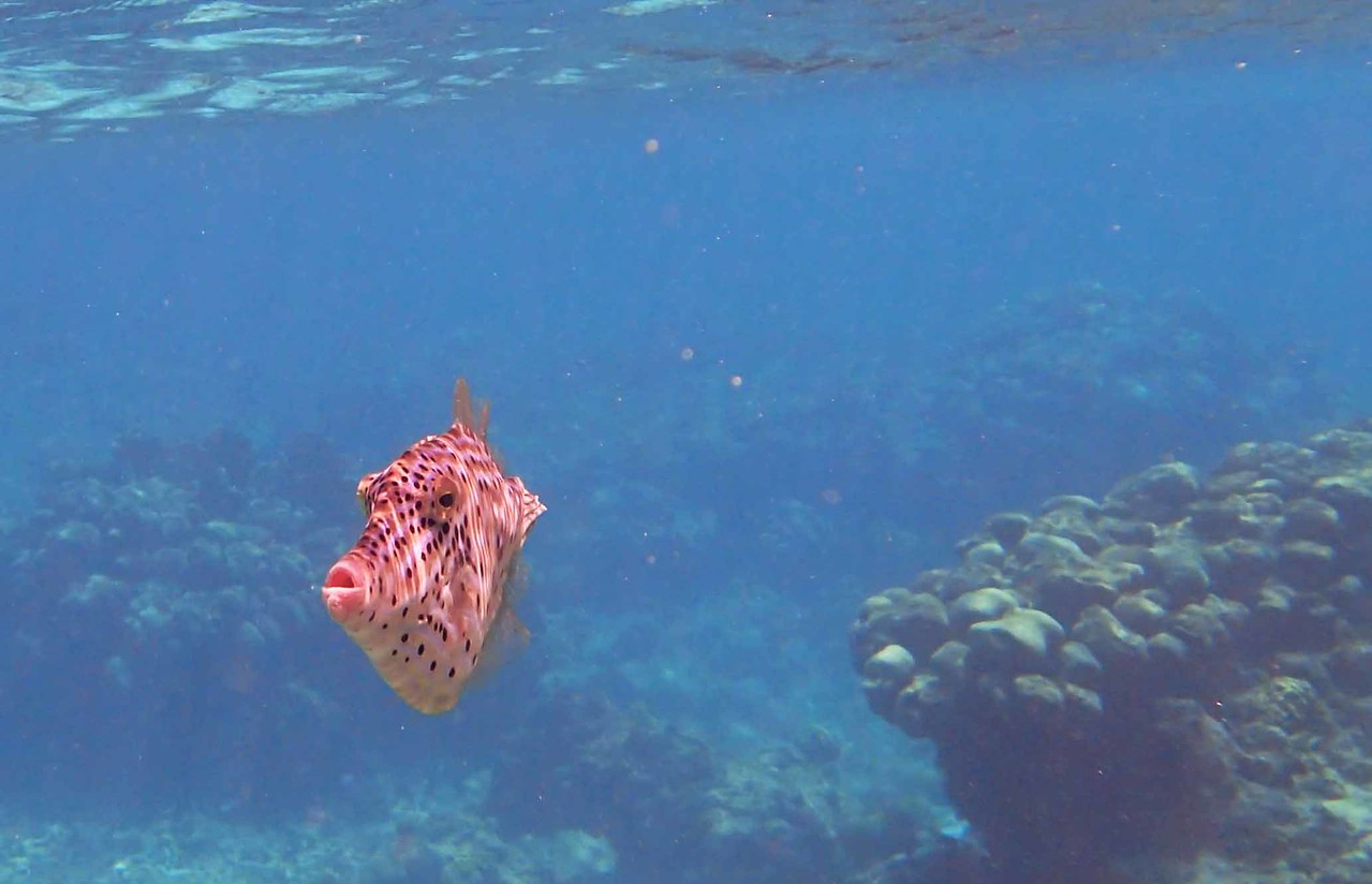 """Scrawled Filefish -- Aluterus scriptus, and """"A Change of World"""" by Adrienne Rich:"""